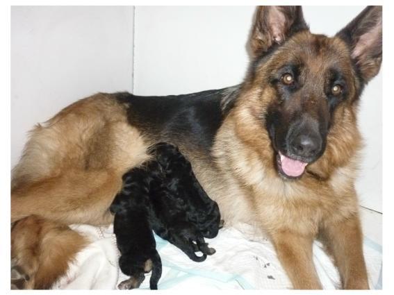 Naissance des bébés Berger Allemand