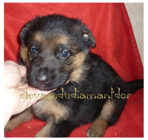 Chiots Berger Allemand LOF disponibles