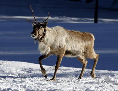 Le rennes!!