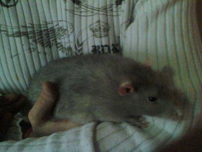 mon rat il et enorme