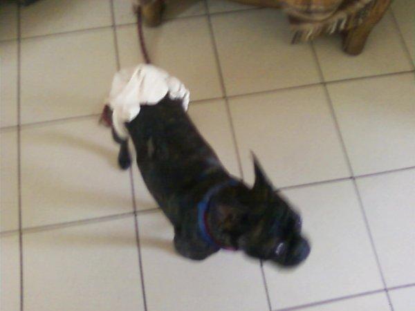 Notre chien Poupette avec sa couche culotte ( par ce que elle avais ses règle )