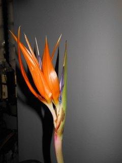 L'oiseau du paradis m'emmerveille de ses belles fleurs