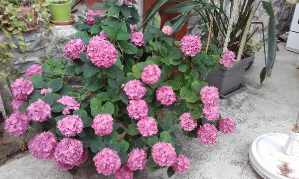 les hortensias de la maison