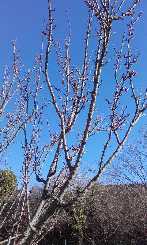 Mon jardin se réveille tout doucement l abricotier presque fleuri