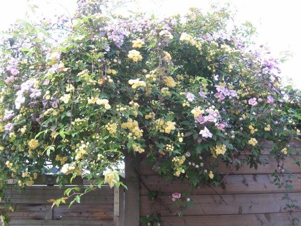 pour faire écho au blog de claudine (doudourose) rosier sans épine Lutéa Banks que je plante dans tous mes jardins ici avec une Montana Tétrarose feuillage bronze !!