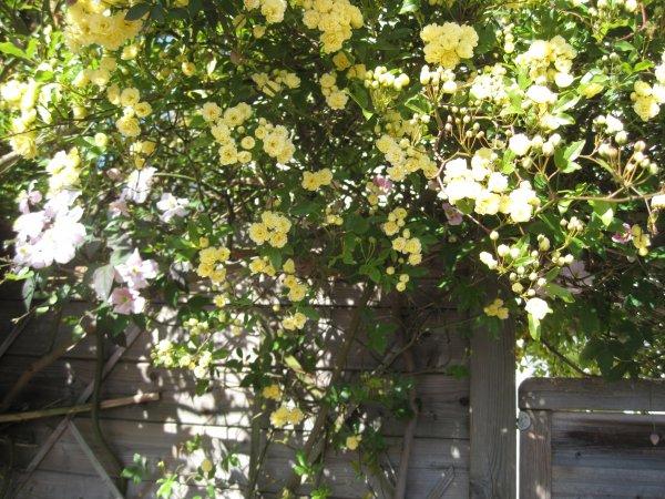de plus près un tout petit pompon jaune à éviter dans les régions froides une seule mais exceptionnelle floraison ...!!