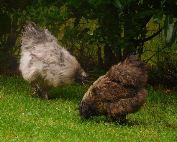 la semaine dernière...vous avez dit deux poules mouillées la houpette sur la tête en témoigne !