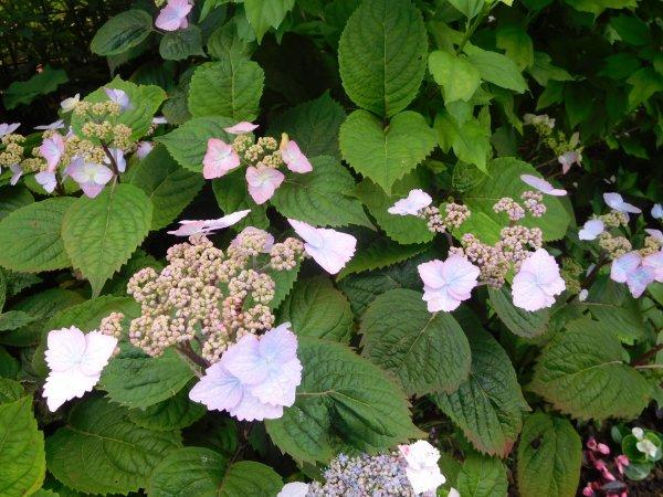 """juste un petit clin d'oeil à mamour le premier à fleurir dans mon jardin """" hortensia Serrata """" les fleurs stériles au centre fleurissent plus tard l'ensemble est vraiment très délicat comme sur le bas de la photo !!"""
