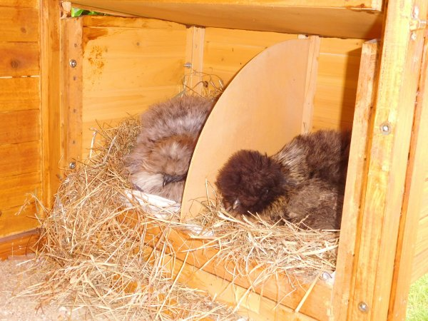 avec ce temps mes poulettes refusent de sortir bien calées dans les pondoirs, je les comprends !!