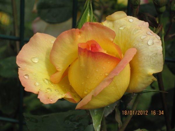 juste pour vous souhaiter une très bonne fin de semaine à toutes trois de mes rosiers certaines photos sont mes archives jardin, Westerland un costaud 1m80 environ Elina un crème toujours en fleur enfin Parure d'or bordé de rose vif tous remontants ...bisous !!                    et