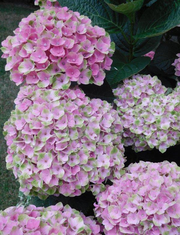 une pause florale un hortensia acheté l'année dernière j'aime ce coté délicat de sa floraison et vous ?