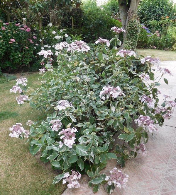 après un dimanche très occupé juste un autre hortensia de mon jardin pour commencer la semaine et vous la souhaiter la meilleure possible bisous à toutes