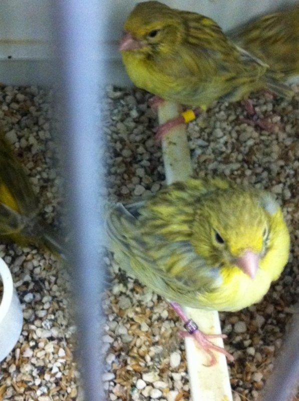 Agate onyx jaune