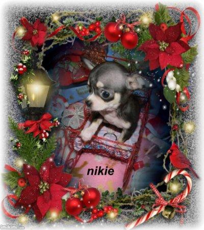 voici notre princesse  nikie des joyaux de mont miraille a 3 mois reste a l élevage