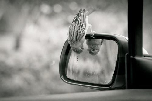 """""""Selon une légende, il serait un oiseau qui ne chante qu'une seule fois de toute sa vie, plus suavement que n'importe quelle créature qui soit sur terre. Dés l'instant où il quitte le nid, il part à la recherche d'un arbre aux rameaux épineux et ne connait aucun repos avant de l'avoir trouvé. Puis, tout en chantant à travers les branches sauvages, il s'empale sur l'épine la plus longue, la plus acérée. Et, en mourant, il s'élève au-dessus de son agonie dans un chant qui surpasse celui de l'alouette et du rossignol. Un chant suprême dont la vie est le prix. Le monde entier se fige pour l'entendre, et Dieu dans son ciel sourit. Car le meilleur n'est atteint qu'aux dépends d'une grande douleur... ou c'est du moins ce que dit la légende."""""""