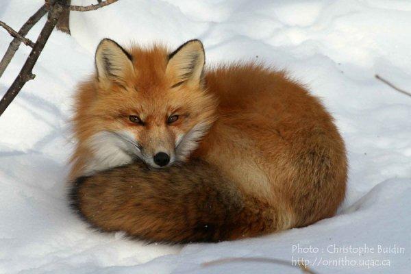 Sauver les renards