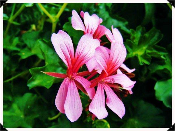 De petites fleurs roses...