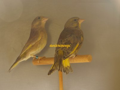pareja de verderones pastel ala gris