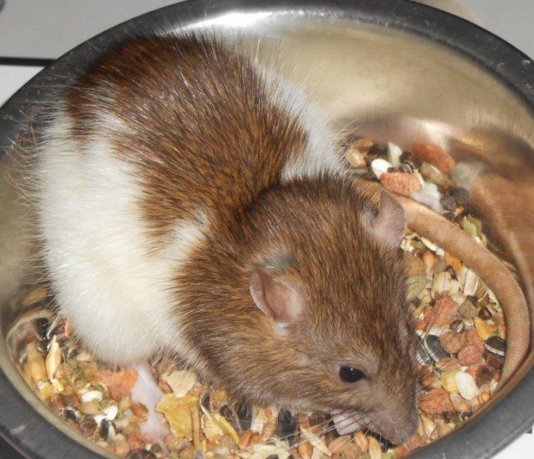 Pour commencer je vous presente mon rat femelle.