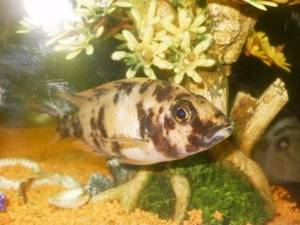 voila mes poissons cyclidées  trop beau  sa fait de superbe photos avec mon appareil numérique