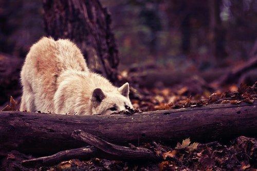 Récapitulatif de tous les loups ♪.