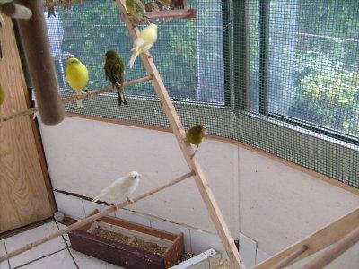 il vont bientot passe en petit cage  pour la reproduction 2011 les pauvres ils etaient bien en voliere.il faudra attendre le moi de juillet pour retouner en voliere......