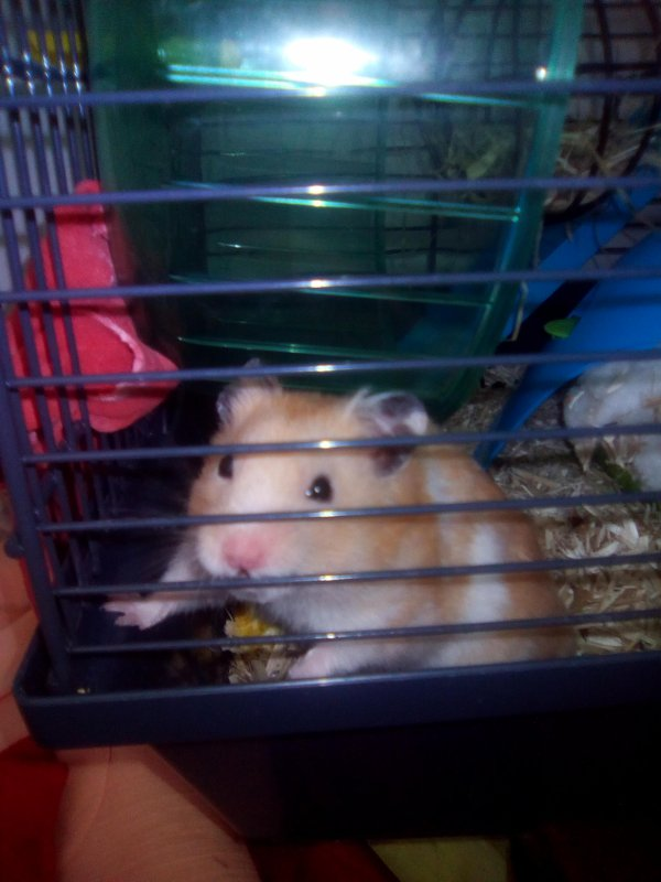 Mon hamster caramel