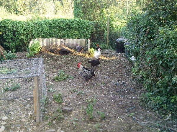 les poules adultes ils grandissent vite (le coq va bientot passé a la casserole )