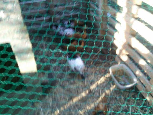ceux si ce sont les nouveaux  1 coq lakenvelder et 1 coq worwek et  3 poule lakenvelder et 3 poule worwek