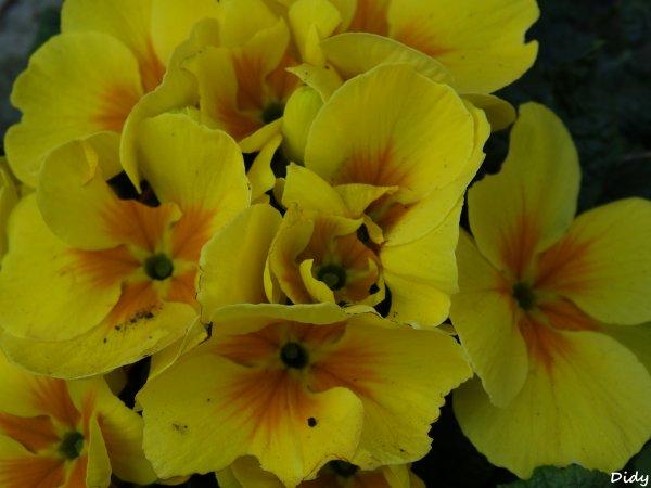 les fleurs de mon jardin au printemps (suite)