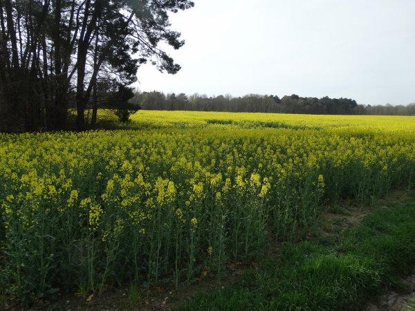 1er avril - champ de colza