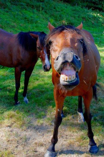 cheval qui baille 2