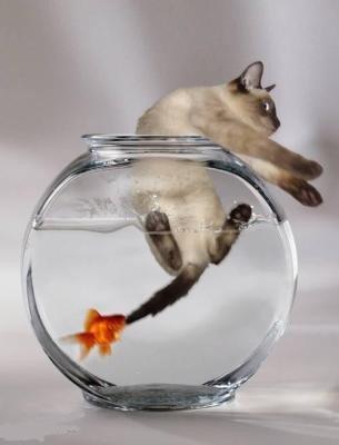 chat et poisson