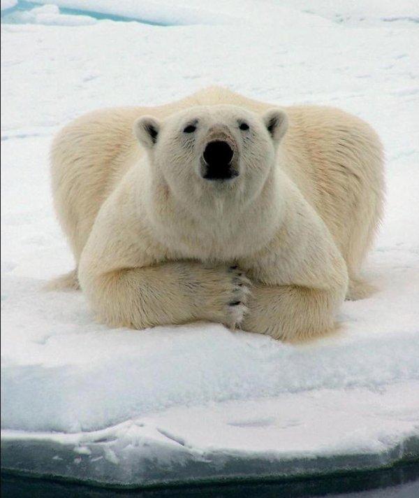 ours en pleine méditation