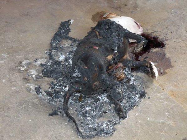 Belgique / Marche: il a tué puis brûlé son pitbull MARCHE-EN-FAMENNE