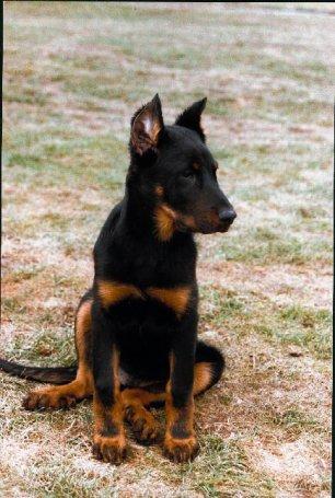 Bas rouge ou Beauceron (chiot / adulte) - Blog de dog-paradis7