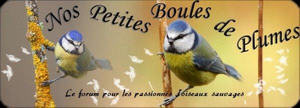/!\ Un forum sur les oiseaux sauvages /!\