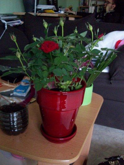 Mon mini rosier d'intérieur