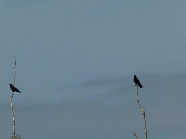 les maitres corbeaux sur leur arbre perches