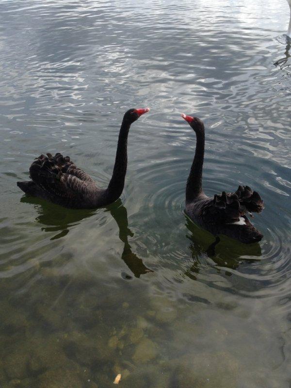 parade nuptial des cygnes noir