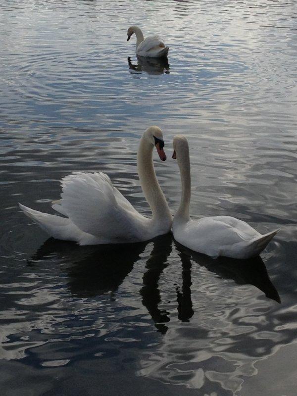 parade nuptial des cygnes blancs
