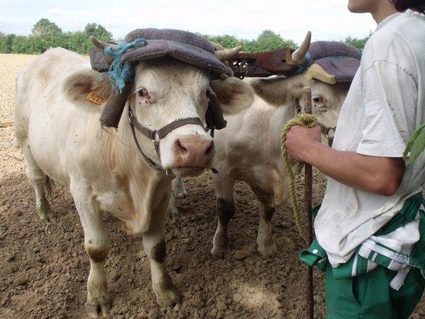 Traction bovine