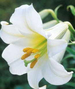 Lily Flowers | Types Of Flowers Pictures | Calla Lilies Bouquet | Calla Lily | Lily Flowers Bouquets |