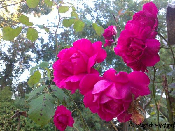 Rose, un bien beau mot.