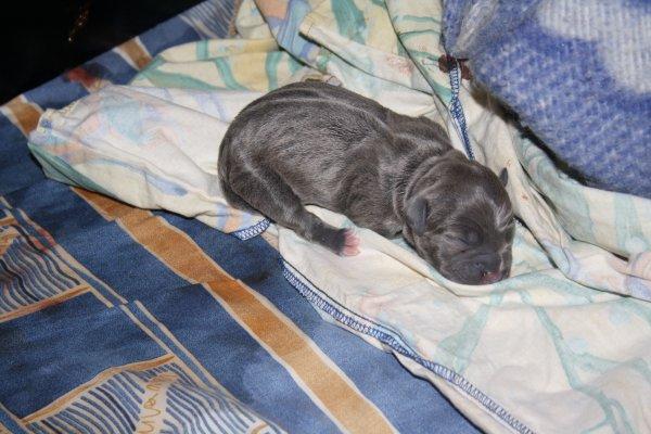 chiot N°1 femelle bleu reservé