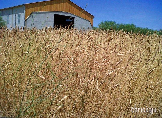 été 2012 champ de blé