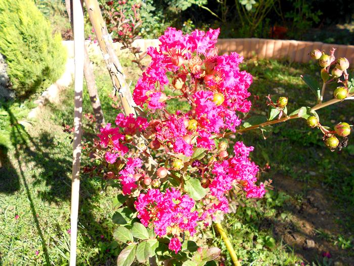 """Photo prise le 19/09/12 """" lilas des Indes """""""