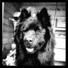 Folkane ( Védika x Valdaï Taz des Legendes de Retz) 2 ans