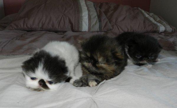 Je vous présente les 3 chatons de Gatina et Gulliver