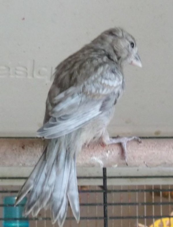 ailes grises